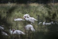 DSC_4572_1 (Marshen) Tags: turkey codman lincoln