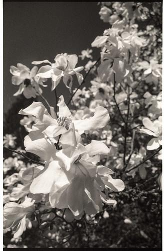 Magnolia at Grand Lodge.jpg