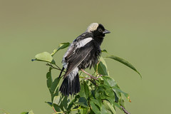 Bobolink (Alan Gutsell) Tags: bobolink blackbird migration michigan houghtonlake june breeding alan summer wildlife nature usa birds birding hotspots black yellow