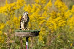 American Kestrel (jmfuscophotos) Tags: bird birds americankestrel wildlife raptor birdofprey nature