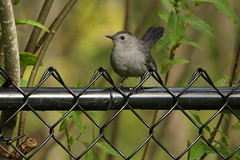 Should I Stay Or Should I Go? (Diane Marshman) Tags: graycatbird gray head chest breast body black cap wings tail feathers medium size bird chain link fence chainlink late summer alder tree leaves birding