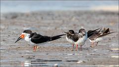 (c)WMH_2019_09_15 Black Skimmers (WesleyHowie) Tags: birds canada dartmouth location mccormacksbeachprovincialpark novascotia provincialpark skimmer wildlife