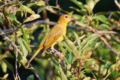 Summer Tanager (kristy324) Tags: tanager tanagers summer yellow wildlife nature fauna bird birds backyard pokeberry pokeweed tennessee tn panasonic lumix g9 100400