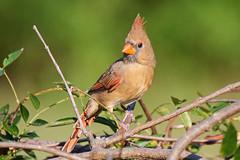 Northern Cardinal (kristy324) Tags: cardinal cardinals female crest redbird redbirds bird birds wildlife nature fauna backyard feeder feeders tennessee tn rutherford panasonic lumix g9 100400