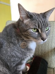 Lily with the green eyes (artnoose) Tags: etsy veryvintage collar pink cat tabby gray grey lily