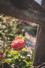 Dahlia (UnCoinDuCiel   Andrée René) Tags: rouge été campagne dahlia fleur clôture bois vert orange corail