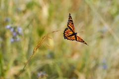 Departure (Bernie Duhamel) Tags: monarchbutterfly flight flying colorado coloradowildlife wildlife sonya9 sonyfe100400mm frontrange greatphotographers teamsony rockymountains bernie duhamel