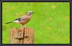 Jay (NikonShutterBug1) Tags: nikond7200 tamron18400mm birds ornithology wildlife nature spe smartphotoeditor wings jay tamronaf18400mmf3563diiivcldasphericalif wildlifephotographyhides scottishphotographyhides