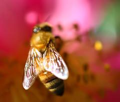 Bee Essence (dianne_stankiewicz) Tags: nature wildlife bee essence wings flower pink pollen insect bokeh beeessence