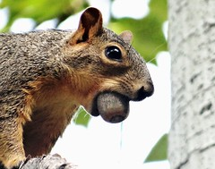 Squirrel (EcoSnake) Tags: sauirrels food nuts easternfoxsquirrel wildlife animals september idahofishandgame naturecenter