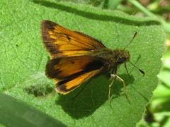Hobomok skipper (Poanes hobomok), male (tigerbeatlefreak) Tags: poanes hobomok skipper insect butterfly lepidoptera hesperiidae nebraska