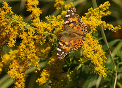 Painted Lady (Diane Marshman) Tags: painted lady butterfly orange black brown white spots wings abdomen late summer pa pennsylvania nature yellow goldenrod native perennial tall plant plants blooms blossoms blooming narrow green leaves colors colorful paintedlady