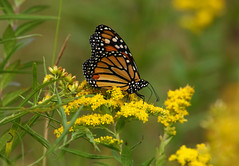 Monarch (Diane Marshman) Tags: monarch butterfly black white orange yellow coloring colors wings antennae body goldenrod flower flowers late summer native perennial tall plant field blooms blossoms blooming green leaves nature pa pennsylvania