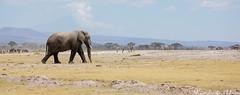 Amboseli National Park (Duma Overland) Tags: kilimanjaro tortillas elephant safari kenya tanzania flamingo wildlife nature mammals big 5 predator amboseli national park africa
