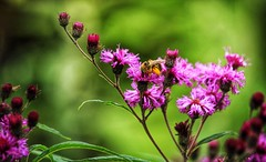 """Bumblebee Loaded with Pollen"" (rdwaters) Tags: columbiasc hamptonprestonhousegardens bumblebee canonefs55250mmf456isstm rebelt5 eos canon"