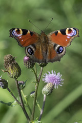 Dagpaauwoog - Aglais io (PAUL-fotografie-Netherlands) Tags: nederland netherlands nederlandinfotos nikon paulfotografienetherlands paulfotografie padagudaloma paulvandevelde natuurfotografie nature aglaisio dagpaauwoog vlinder insect butterfly thistle