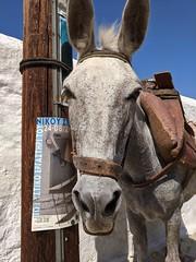Hydra, Greece (marmarinou) Tags: greece hydra island greek donkey europe european greekislands animals