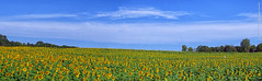 Sunflowers at Grinter Farms (Pano), 14 Sept 2019 (photography.by.ROEVER) Tags: kansas leavenworthcounty reno sunflower sunflowers sunflowerfield sunflowerfields grinterfarms grinterfarmssunflowers flower flowers color colour colors colours landscape bluesky yellow green blue rural country september 2019 september2019 latesummer latesummer2019 morning pano panorama panoramic autostitch usa