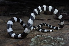 Vermicella Annulata (Bandy-bandy) (Tom Frisby) Tags: snake reptile animal wildlife fauna australia nsw herp nature