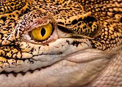 Baby Crocodile Eye (FotoGrazio) Tags: baby macro nature scary dangerous reptile young hide eyelid wildanimals apexpredator philippinescrocodile fotograzio waynesgrazio waynestevengrazio texture beautiful animal animals closeup wildlife vision scales crocodile mothernature pupil deadly yellowandblack waynegrazio predator eyesight eyes
