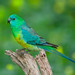 Red-rumped Parrot: Green and Blue on Green and Yellow