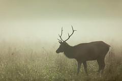 Elk (Macson McGuigan) Tags: greatsmokymountainsnationalpark nationalpark elk bull foggy fog morning antlers hazy silhouette mammal field