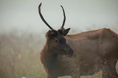 (Macson McGuigan) Tags: greatsmokymountainsnationalpark nationalpark elk mammal morning foggy antlers bull