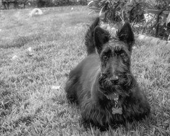 -20190915Miss Maggie3-Edit (Laurie2123) Tags: bnw fujixt2 fujinon1855mm laurietakespics laurieturnerphotography laurie2123 maggie missmaggie scottie scottishterrier backyard blackscottishterrier blackandwhite blackdog monochrome monotone odc2019 odc ourdailychallenge