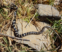 Colubrinae. (Antonio Chávez S.S.) Tags: mortero lima perú huarochirí trekking outdoor outing outdoors andes andesperuanos cordilleradelosandes nature natureobservation animal animalphotography snake serpent biology zoology