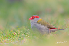 Red-browed Finch (R. Francis) Tags: neochmiatemporalis redbrowedfinch ondiong dorrigo nsw newsouthwales ryanfrancis ryanfrancisphotography