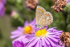 Papillon (clamar18) Tags: argusbleu insecte jardin mery papillon butterffly marron vierzon france