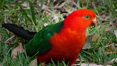 Australian King Parrot (JZ_Photography) Tags: parrot kingparrot panasonic lumix g9