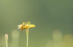 Matière Première (Alexandre Légaré) Tags: abeille honey bee honeybee insecte insect animal nature apidae nikon d7500 sherbrooke quebec canada pollen flower fleur