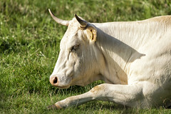 Blondje (PAUL-fotografie-Netherlands) Tags: nederland netherlands nederlandinfotos nikon paulfotografienetherlands paulfotografie padagudaloma paulvandevelde natuurfotografie nature wittekoe blondekoe bond cow whitecow koe