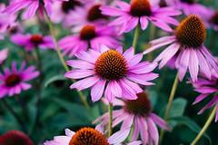 September 15, 2019 (tawburke_photo_a_day) Tags: flower colour fuji fujifilm wxt calgary summer echinacea coneflower tyler burke canada nature outdoors