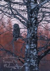 Tranquil Focus: Great Gray Owl Sunset Glow (Tranquil Focus Nature Photography & Videography: R) Tags: review greatgrayowls greatgreyowls rexalenacoopertranquilfocus raptors sunsetglow