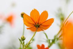 orange cosmos (Christine_S.) Tags: floralphotography flowerphotography naturegardenjapancloseup canoneosm5 ef100mmf28l whitebackground highkey macro outside bokeh orangeflowers キバナコスモス sulfurcosmos yellowcosmos