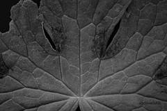 Pareidolia (roelivtil) Tags: pareidolia monochrome blackwhite macromondays