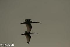 Coco Blanco, White Ibis (Eudocimus albus ) (Gogolac) Tags: rresidente rlcresidentelocalmentecomún 2019 aves bird birdphotography birdie birds canon7dmii cimarronmayor fauna fotografiashechasjuantoatonyparra josemiguelpantaleon location montecristi park parquenacionaldemontecristi residenteenrd residentelocalmentecomúnenrd tonyparra year birdspot birdingrd birdsspotters republicadominicana tomadasenel2019