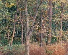 SCAN_1_7 (A_V_P) Tags: pentax 67 smc provia 300 ed landscape tree forest autumn medium format film selfdeveloped selfscaned