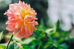 Dahlia (Thanathip Moolvong) Tags: nikon s3 105cm f4 kodak pro image 100 negative film flower color bokeh dahlia