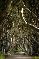 The Dark Hedges (ArminFuchs) Tags: nature natur gameofthrones nordirland irland bäume baum allee street trees tree ireland northireland hedges dark darkhedges gummersbach got