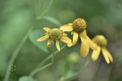 Tall Coneflower / Rudbeckia laciniata (Zara Calista) Tags: tall coneflower rudbeckia laciniata plant yellow green bokeh nature nikon maryland