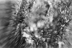 (frscspd) Tags: 71750003 20190203 pentax pentaxmx mx lensbaby lensbabysweet35 ilforddelta3200 ilford home garden rosemary film filmgrain bokeh swirling swirlingbokeh catseye cambridge catseyeeffect leaves