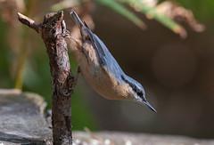 Nuthatch-8502379 (seandarcy2) Tags: birds wild wildlife beds uk avian woodland nuthatch