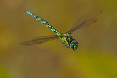 Face to face (microwyred) Tags: animal animalwing animalsinthewild backgrounds beautyinnature blue closeup dragonfly events flying fragility grass greencolor insect multicolored nature outdoors summer wildflowers wildlife insects macro