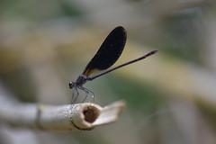 Calopteryx haemorrhoidalis (esta_ahi) Tags: lableda santamargaridaielsmonjos penedès barcelona spain españa испания riufoix calopteryxhaemorrhoidalis calopteryx haemorrhoidalis calopterygidae damisela damselfly caballitodeldiablo zygoptera odonata insectos fauna