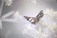 720nm infrared (Brian M Hale) Tags: tower hill botanic botanical garden boylston ma mass massachusetts newengland new england usa brian hale brianhalephoto insect outside outdoors nature infraredir720m kolarivisionkolarivision