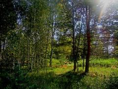 Луч солнца (lvv1937) Tags: лес солнце деревья breathtakinglandscapesbwandcolor amateurs explore ilovenature inexplore