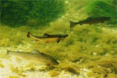 Regenbogenforellen u. Saibling (robert.pechmann) Tags: saibling regenbogenforelle fische